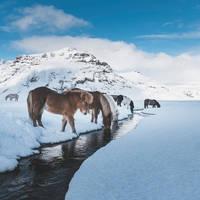 IJslandse paarden - Foto: Siggeir Magnus Hafsteinsson