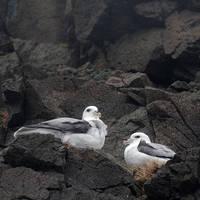 Oostfjorden vogels op de lavarotsen
