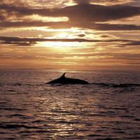 Walvis in de IJslandse wateren