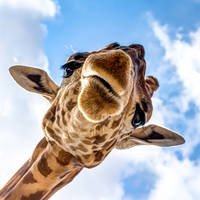 Close-up van een giraffe tijdens een game drive