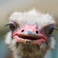 Struisvogel Oudtshoorn