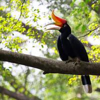Neushoornvogel in Ulu Muda
