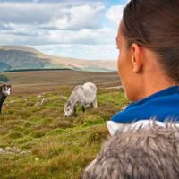 Wilde paarden in het Brecon Beacons Nationaal Park