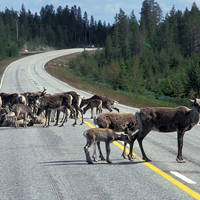 Rendieren op de weg - Foto: Visit Finland