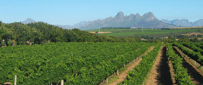 Stellenbosch_Vineyard