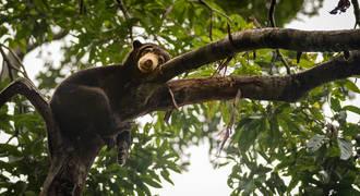 Maleisische honingbeer