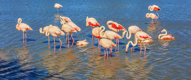Camarague Flamingo