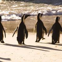 Afrikaanse pinguins op Boulders Beach, Kaapstad - Zuid-Afrika