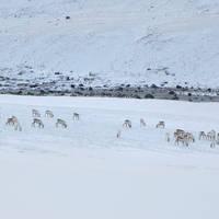 Egilsstadir rendieren - Foto: Iceland Travel