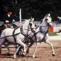 Lipica Paarden