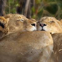 Rustende leeuwenwelpen, Kruger National Park