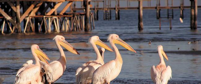 Pelikanen Walvis Bay