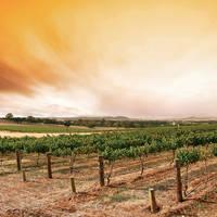 Zuid-Afrikaanse wijngaard