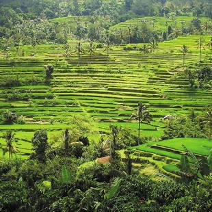 Rijstterrassen Bali