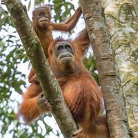 Orang Oetan moeder + kind