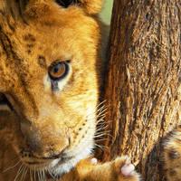 Leeuwenwelp circa 4 maanden oud