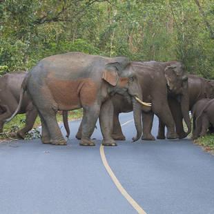 olifanten in Khao Yai NP