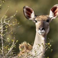 Vrouwelijke Kudu in het Krugerpark