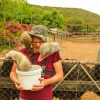 Hongerigfe struisvogels, Oudtshoorn