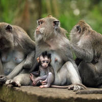 Apen nabij Ubud