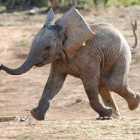 Rennende baby olifant