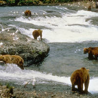 Grizzly beren